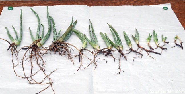 aloe vera babies (pups) with healthy roots