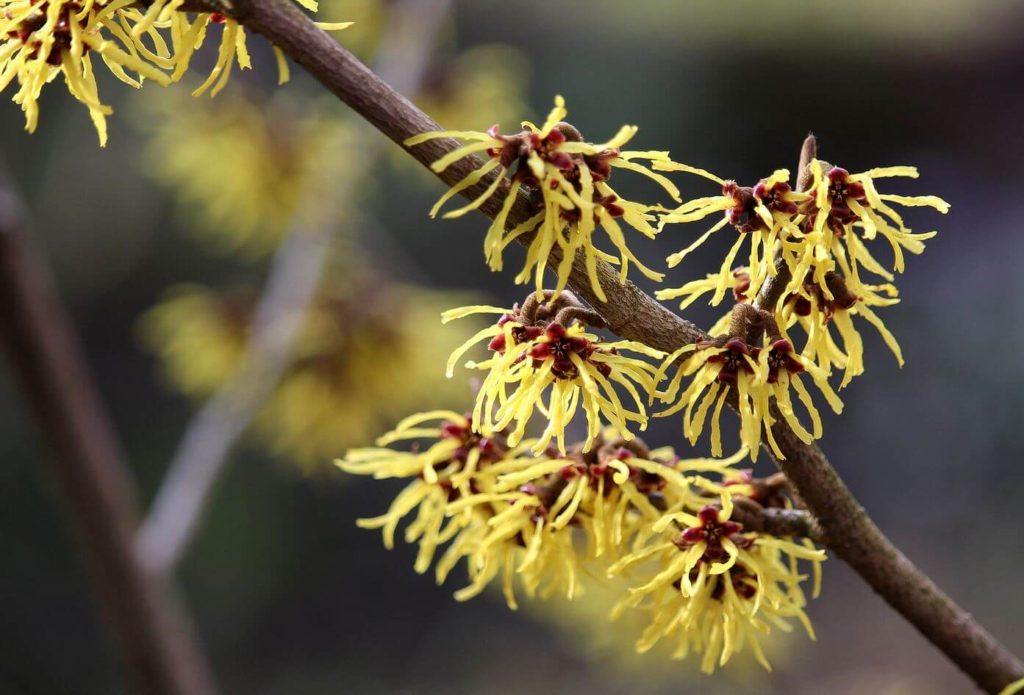 SkinTight - what ingredients are in it - Witch Hazel