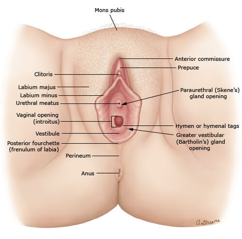anatomy of vulva - all outer parts of vagina